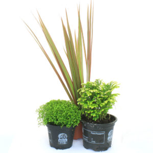 Evergreen Plants